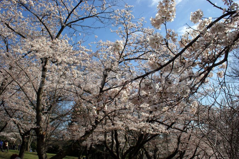 1334417249-cherry-trees-blossom-in-high-park--toronto_1156505