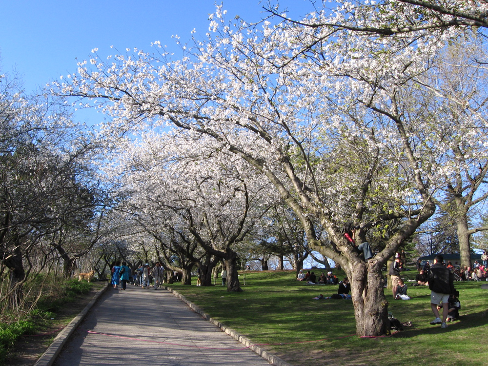 toronto_high_park_cherry_bl